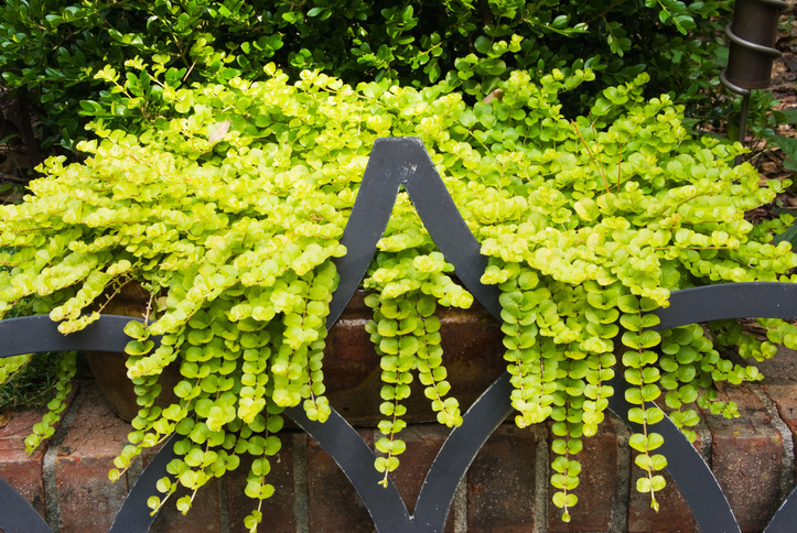 Creeping-Jenny-hanging-plant