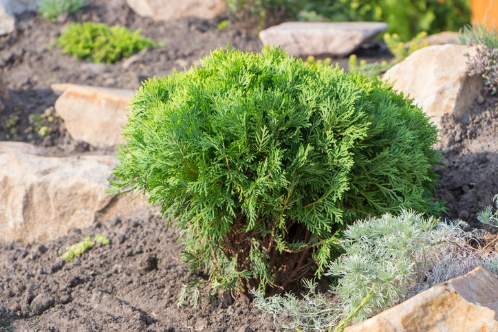 Evergreen-dwarf-conifer-in-dirt