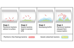 biofilm-formation-stages