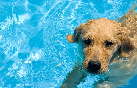 How to teach your dog to swim advance preparation for How to train your dog to swim in the pool