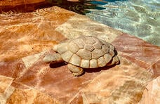 turtle-statue-on-beach-entry-pool